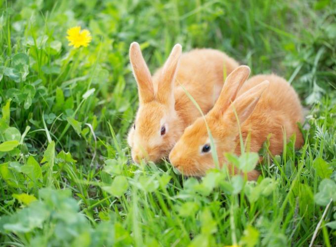 рыжие кролики