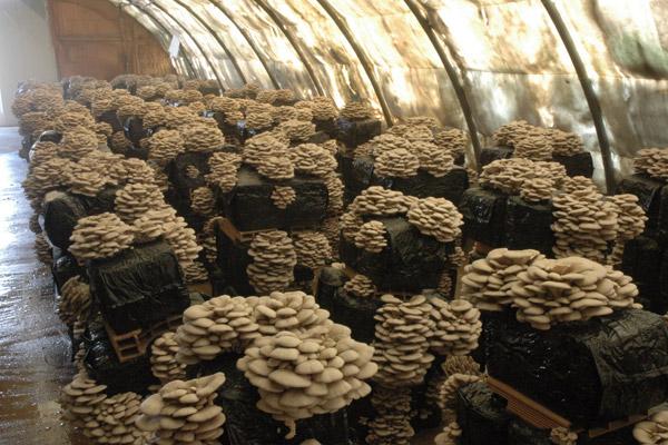 Производство грибов в России: оборудование, рентабельность, отзывы