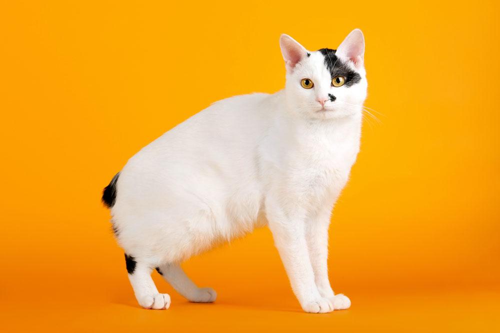 картинки кошки японский бобтейл который прыгнул