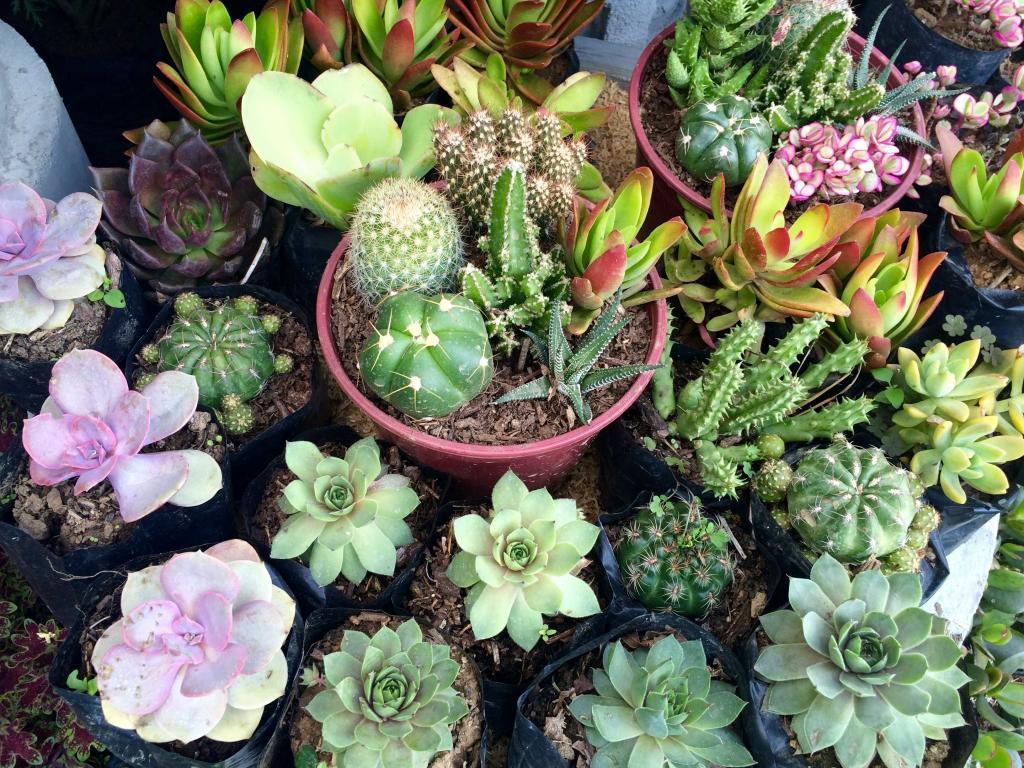 Как рассаживать кактусы? Способы размножения кактусов в домашних условиях