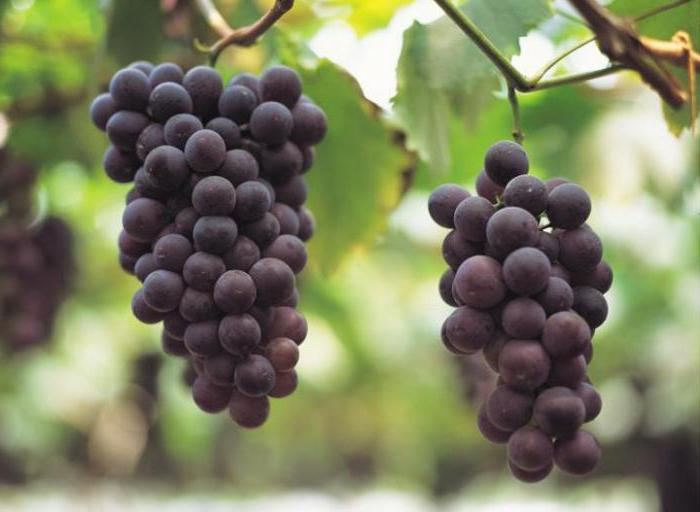 Толстеют ли от винограда зеленого