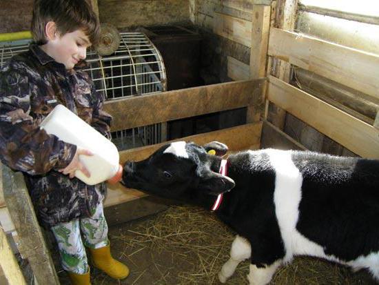 Как кормить бычков в домашних условиях