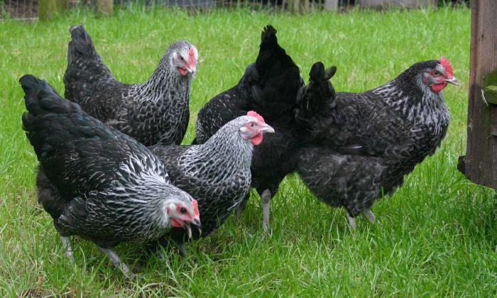 Как определить возраст кур-несушек: формирование продуктивного птичника