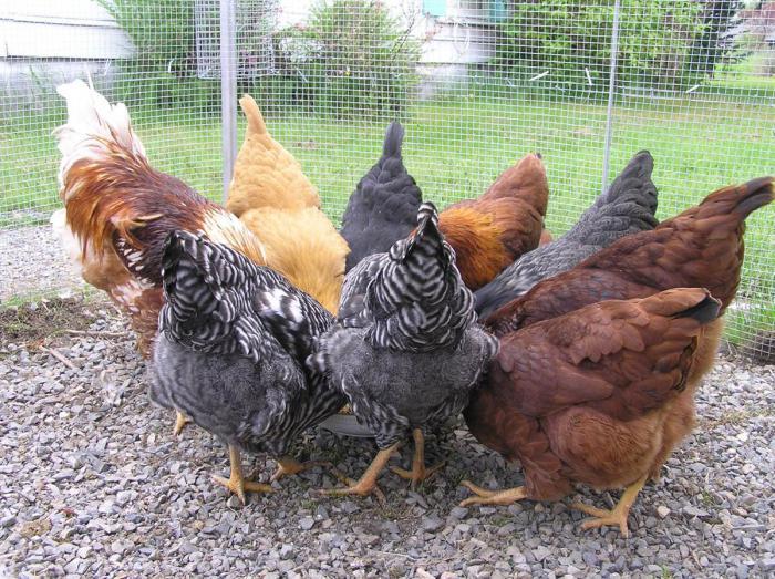курица снесла яйцо без скорлупы