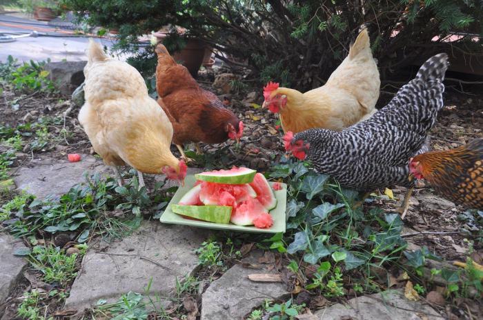 чем кормить куриц несушек в домашних условиях