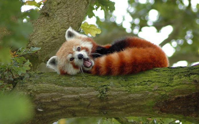 кунфу панда что за животное мастер шифу