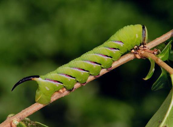 гусеница с рогами