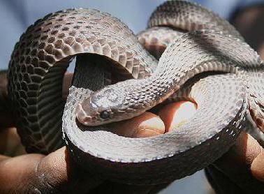 ужеобразные змеи