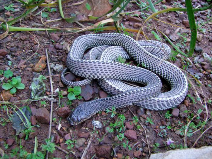 как выглядит змея