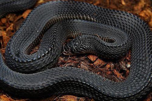 игольная змея mehelya capensis