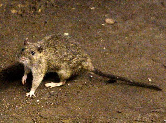 Что если снится много крыс