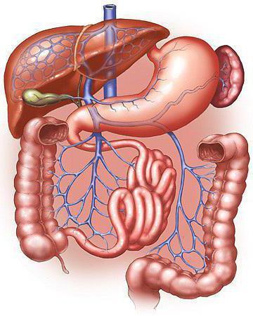 порядок органов пищеварительной системы
