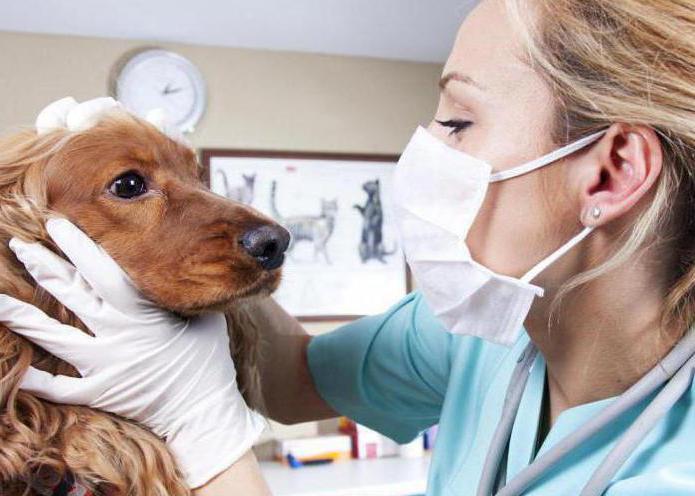 гепатит у собак симптомы