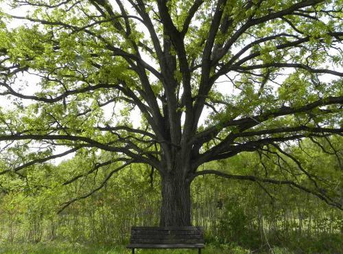 деревья широколиственных лесов
