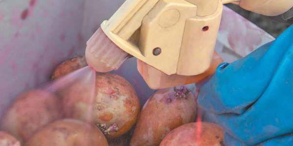 Картофель выращивание и болезни 92