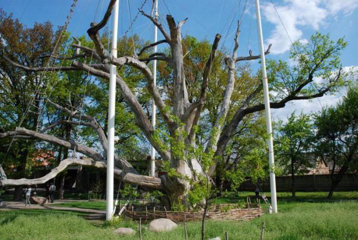 запорожский дуб фото