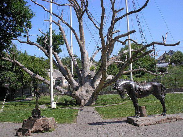 запорожский дуб описание