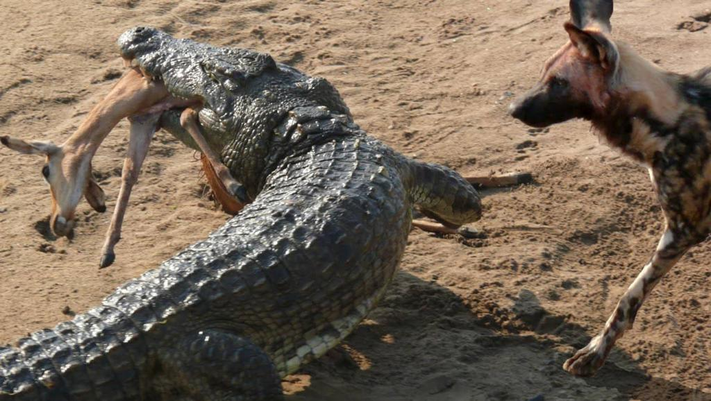 an attack of the crocodile Zanele got married to her partner jamie days after losing an arm in a crocodile attack in zimbabwe.