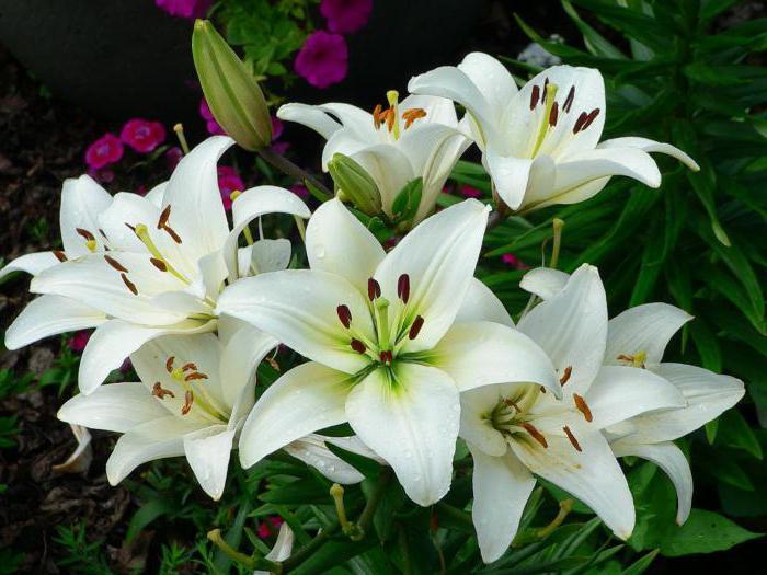 почему не цветут лилии