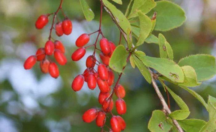 Посадка барбариса осенью: технология, советы
