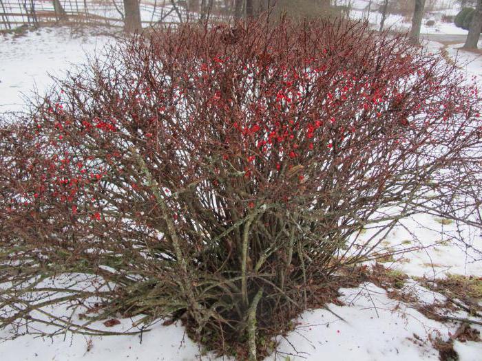 дерево барбарис