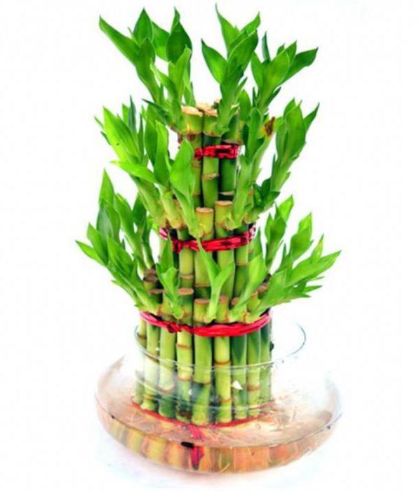 Скорость роста бамбука в сутки