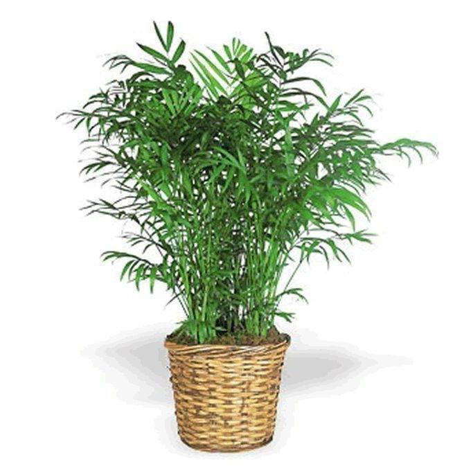 Домашний бамбук скорость роста