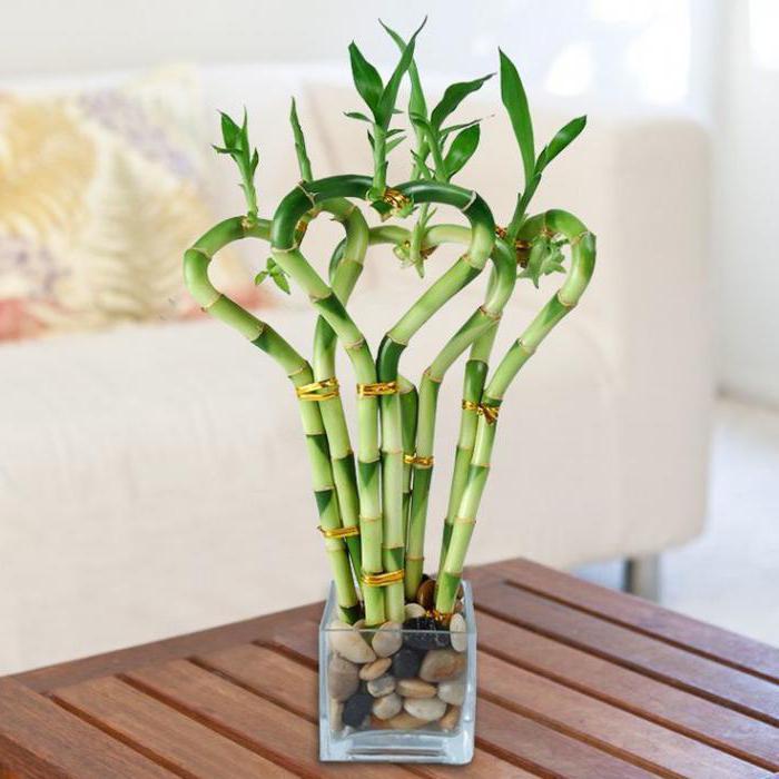 Бамбук домашний посадка, размножение и уход