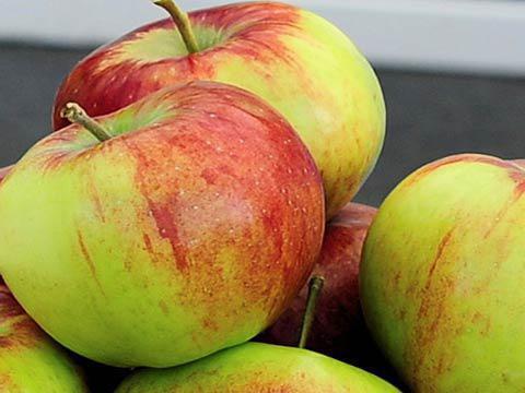 Яблоня сорт россошанское полосатое