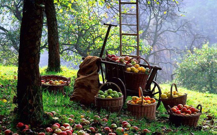 Россошанское полосатое яблоня фото