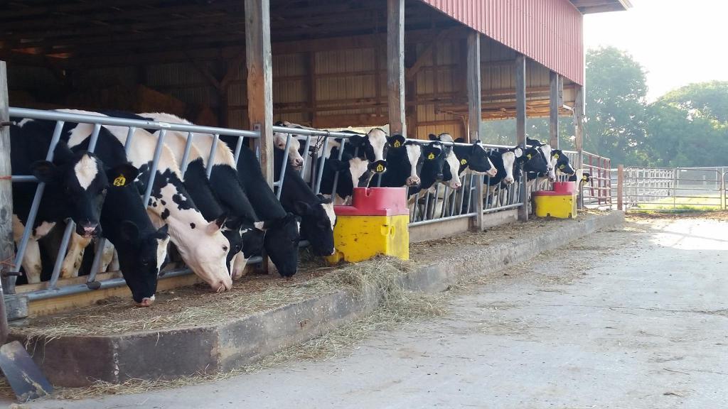 Групповое содержание коров