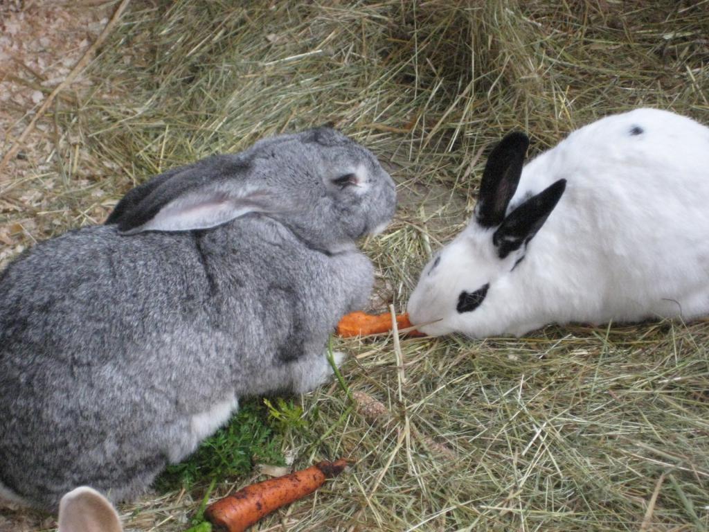 Кролики едят тыкву