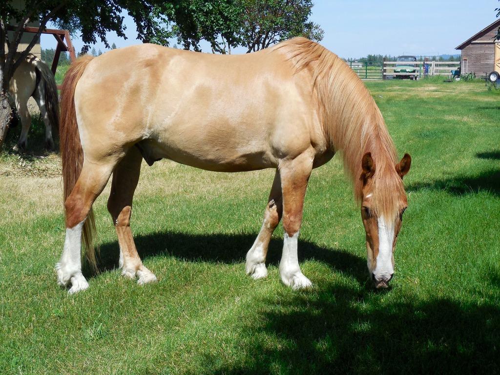 Светло-каурая лошадь