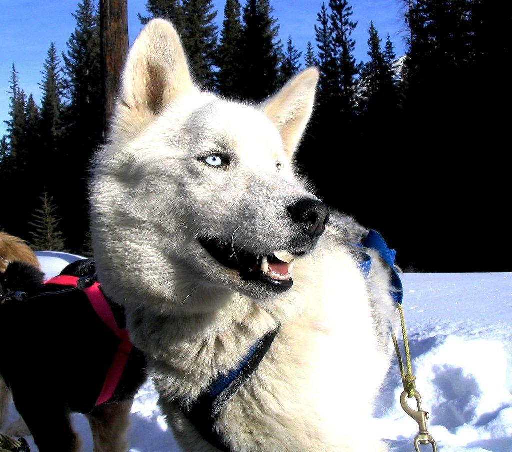Эскимосская лайка: описание породы и характера