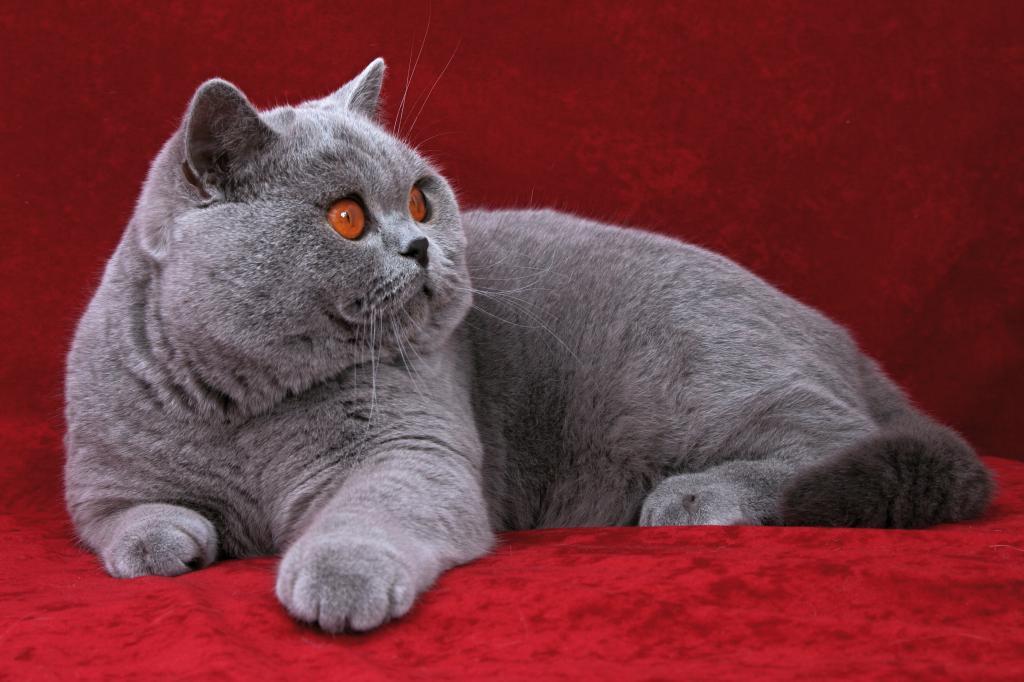 Английские коты картинки