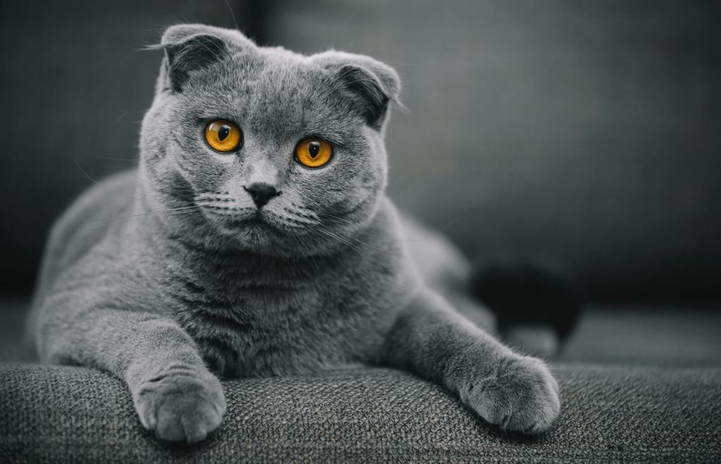кот с плюшевой шерстью порода