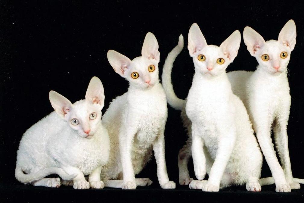 плюшевый кот порода
