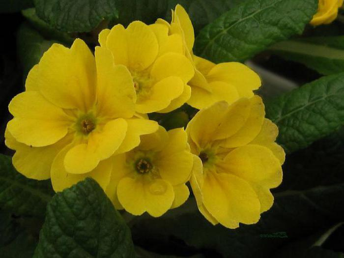 декоративно цветущие растения комнатные названия
