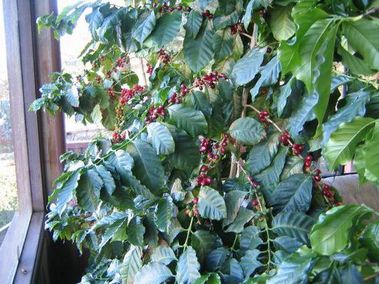 как вырастить кофейное дерево из косточки