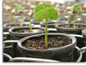 как вырастить кофейное дерево своими руками
