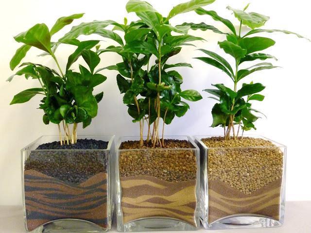 как вырастить кофейное дерево в домашних условиях из косточки