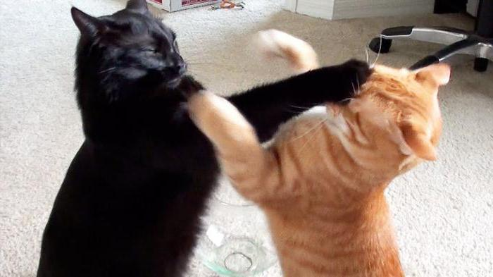 две кошки дерутся