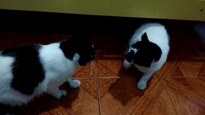 две взрослые кошки в одной квартире