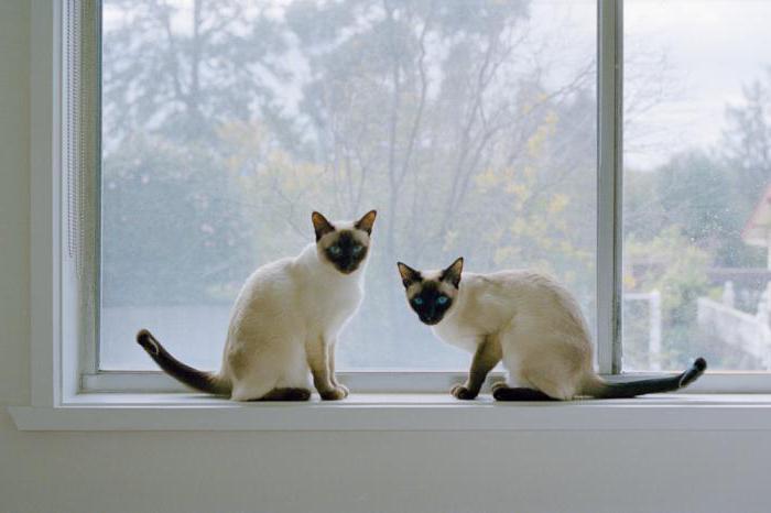 Как живут две кошки одной породы thumbnail
