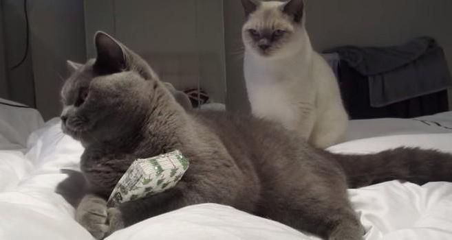 уживутся ли две кошки в одной квартире