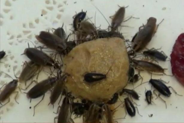 Чем и как выводить тараканов в домашних условиях