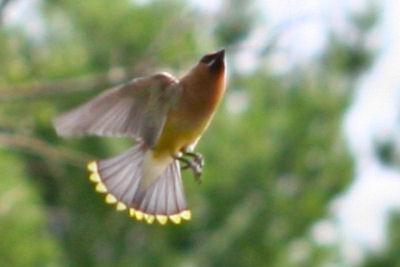 свиристели перелетные птицы