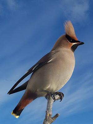 птица свиристель фото