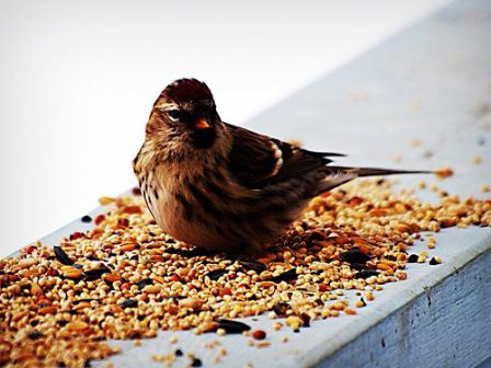 чем можно кормить птиц зимой