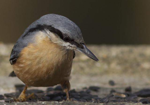птица поползень фото